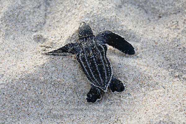 pk70096-D. Leatherback Sea Turtle hatchling (Dermochelys coriacea) has just emerged from nest and is moving down the beach toward the water. Florida, USA, Atlantic Ocean..Photo Copyright © Brandon Cole. All rights reserved worldwide.  www.brandoncole.com..This photo is NOT free. It is NOT in the public domain. This photo is a Copyrighted Work, registered with the US Copyright Office. .Rights to reproduction of photograph granted only upon payment in full of agreed upon licensing fee. Any use of this photo prior to such payment is an infringement of copyright and punishable by fines up to  $150,000 USD...Brandon Cole.MARINE PHOTOGRAPHY.http://www.brandoncole.com.email: brandoncole@msn.com.4917 N. Boeing Rd..Spokane Valley, WA  99206  USA.tel: 509-535-3489