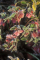 Helleborus orientalis Early Purple Group hellebore blooms in winter flowers with frost frosted snow