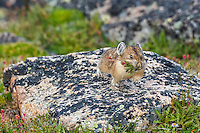 American pika (Ochotona princeps) running back toward one of its haypiles (winter food caches) with a mouthful of plant material.  Beartooth Mountains, Wyoming/Montana.  Summer.  This photo was taken in alpine setting at around 11,000 feet (3350 meters) elevation.
