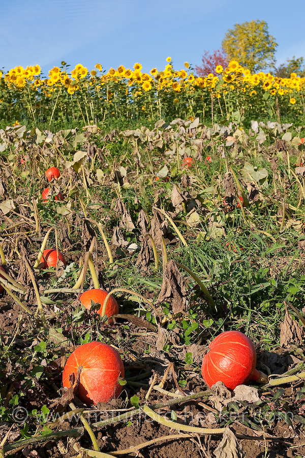 Hokkaidokürbis, Anbau gemeinsam mit Sonnenblume, Hokkaido-Kürbis, Hokkaido - Kürbis, Hokaidokürbis, Hokaido-Kürbis, Hokaido, Riesenkürbis, Riesen-Kürbis, Speisekürbis, Speise-Kürbis, Cucurbita maxima 'Red Hokkaido', Pumpkin