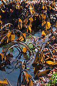 Brown Algae or Kelp in a tide pool at low tide (Phaeophyceae), Mendocino County, California, USA
