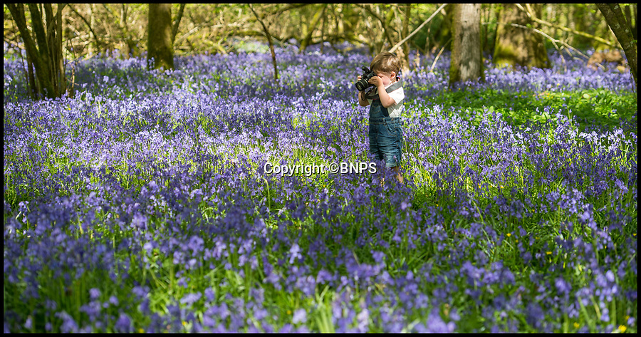 BNPS.co.uk (01202 558833)<br /> Pic: PhilYeomans/BNPS<br /> <br /> Budding photographer Freddie Thorne(2) down amongst the stunning display of bluebells in Garston Wood in Dorset.<br /> <br /> The warm dry spring has produced an amazing show of early colour this year in the RSPB maintained reserve near Sixpenny Handley.
