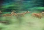 Impala herd running, Masai Mara National Reserve, Kenya