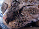 a sleeping portrait, head shot of a tabby cat