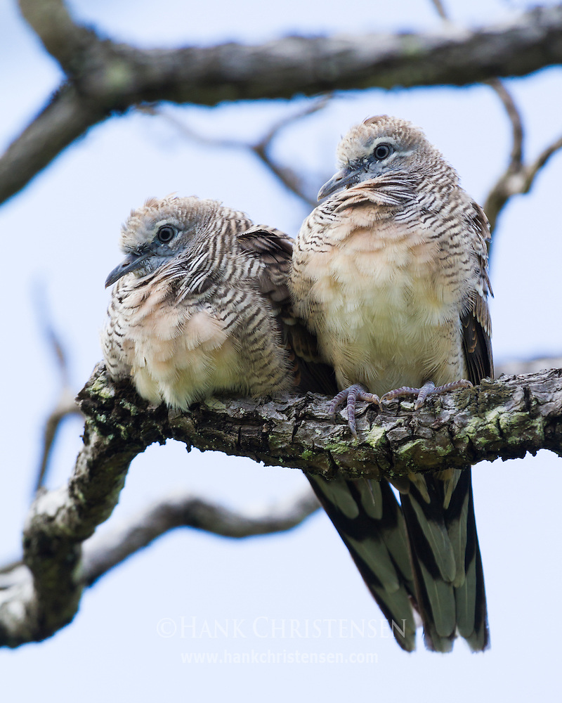 how to get rid of doves in trees