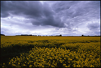 Rapeseed, Suffolk | Colour