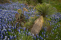 Bluebonnets surround Prickly pear Cactus and a Yucca Tree, Texas Hill Country, Texas, USA.
