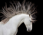 Andalusian horse, Washington, USA<br />