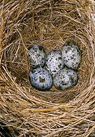 Drosselrohrsänger, Ei, Eier, Gelege im Nest, Drossel-Rohrsänger, Rohrsänger, Acrocephalus arundinaceus, great reed warbler