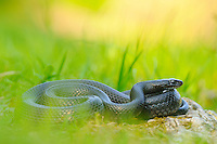 Green Whip Snake (Hierophis viridiflavus) basking in the grass, Italy.