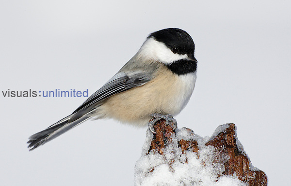 Black-capped Chickadee (Poecile atricapillus) on icy stump, Elizabeth A. Morton National Wildlife Reserve, Noyac, New York, USA.