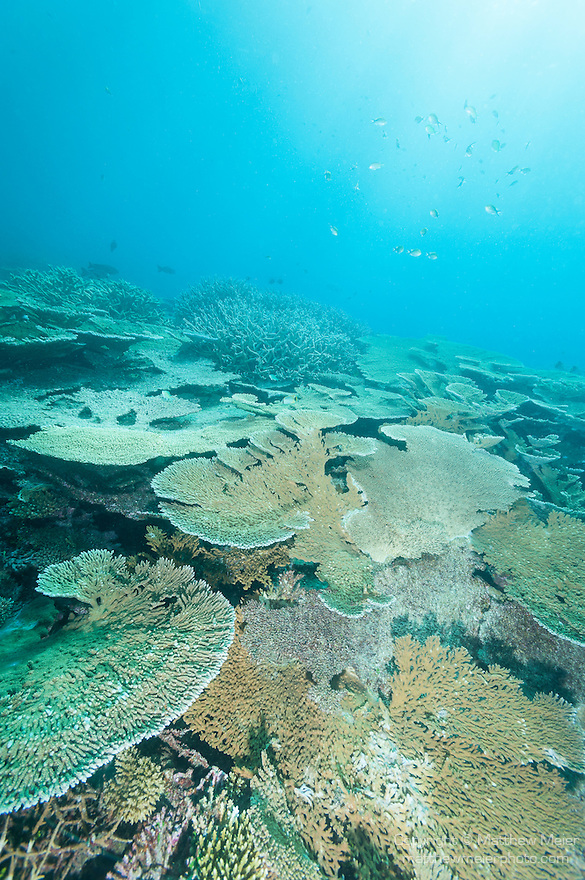 Nilandhoo Giri, Nilandhoo Island, Huvadhoo Atoll, Maldives; sun rays stream in from above a large number of (Acropora sp.) stony corals and plate corals populating a shallow water coral reef