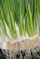 Scallions 'Photon' vegetables, harvested and clean, on white plate, showing stalks, ends, roots