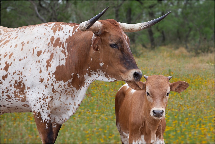 """This image of Texas Longhorns in a field of wildflowers in Texas is a closer version of """"Longhorns in Texas Wildflowers 3"""" - same Longhorns, same wildflower field."""