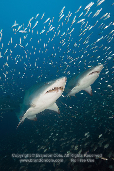 TP0575-D. Sand Tiger Sharks (Carcharias taurus) surrounded by baitfish. Fearsome appearance but not aggressive, posing no threat to divers unless provoked; can hover in midwater by using stomach as a buoyancy compensator after they have gulped air at surface; feeds on bony fishes, sharks and rays, crustaceans, and squid; some migrate to warmer waters in fall and winter and cooler climates in spring and summer. North Carolina, USA, Atlantic Ocean.<br /> Photo Copyright &copy; Brandon Cole. All rights reserved worldwide.  www.brandoncole.com