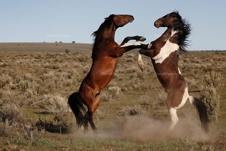 114 best Paint Horses images on Pinterest   Horses, Pretty horses ...