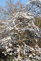 Magnolia x loebneri 'Merrill' spring flowering tree in bloom on sunny day with blue sky, white flowers