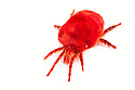 Giant Indian Velvet Mite {Trombidium grandissimum}, photographed on a white background. Captive, originating from India.