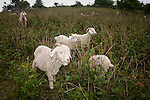 Angora Goats on the job, Baa-tany Goat Program, restoring the Roan's western grassy bald corridors, Roan Highlands