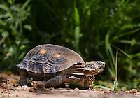 481150031 a wild texas tortoise gopherus berlandieri crawls through thick underbrush near a waterhole in the rio grande valley of south texas