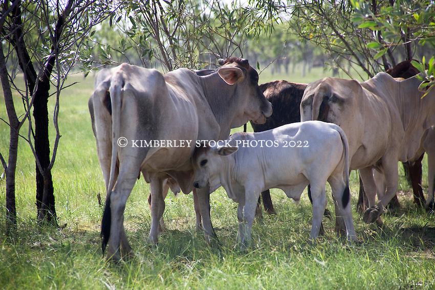Brahma cow female
