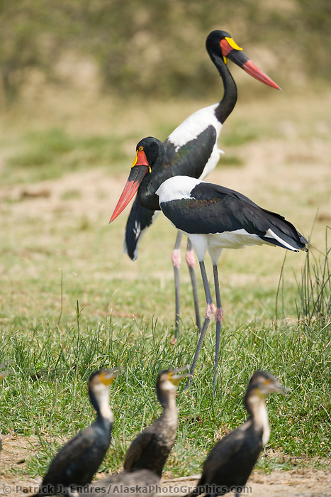 Saddle-billed Stork, Kazinga Channel, Queen Elizabeth National Park, Uganda, East Africa