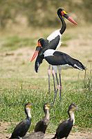 Saddle-billed Stork, Kazinga Channel, Queen Elizabeth National Park, Uganda, East Africa