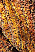 A close-up of the bark of the wiliwili tree on Maui.