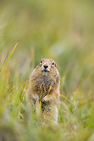 Arctic ground squirrel on the summer tundra, Denali National Park, Alaska