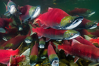 RY1498-D. Sockeye Salmon (Oncorhynchus nerka) swimming together upstream. When sockeye leave the sea and enter freshwater to begin their final journey upriver to spawn and die, they undergo dramatic change. Silver bodies become red and green and they stop feeding. In males the snout transforms into a hooked beak and their teeth lengthen to become fangs. Adams River, British Columbia, Canada.<br /> Photo Copyright &copy; Brandon Cole. All rights reserved worldwide.  www.brandoncole.com
