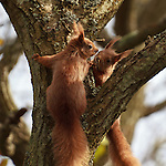 Red Squirrels along the banks of the River Yar