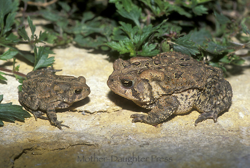 Two American toads, Bufo Americanus, a small and large one sit face to face on a warm rock in the garden