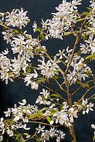 Serviceberry Amelanchier Ballerina in white spring flowers