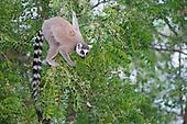 Ring-tailed Lemur (Lemur catta), Berenty, Madagascar.