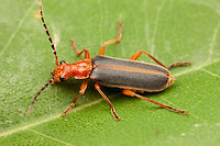 A Soldier Beetle (Podabrus tomentosus) perches on a leaf.