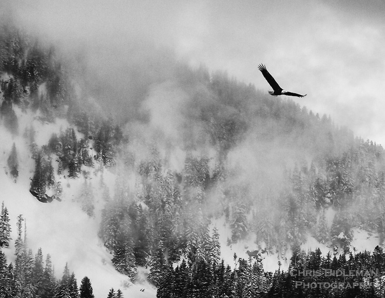 Gift card photo of Black and white of a bald eagle is in flight with wings spread over snow covered mountains and trees with fog rolling across the valley