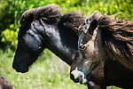 Shackleford Banks Wild Horses