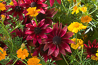 Rudbeckia 'Cherry Brandy' with marigolds Tagetes