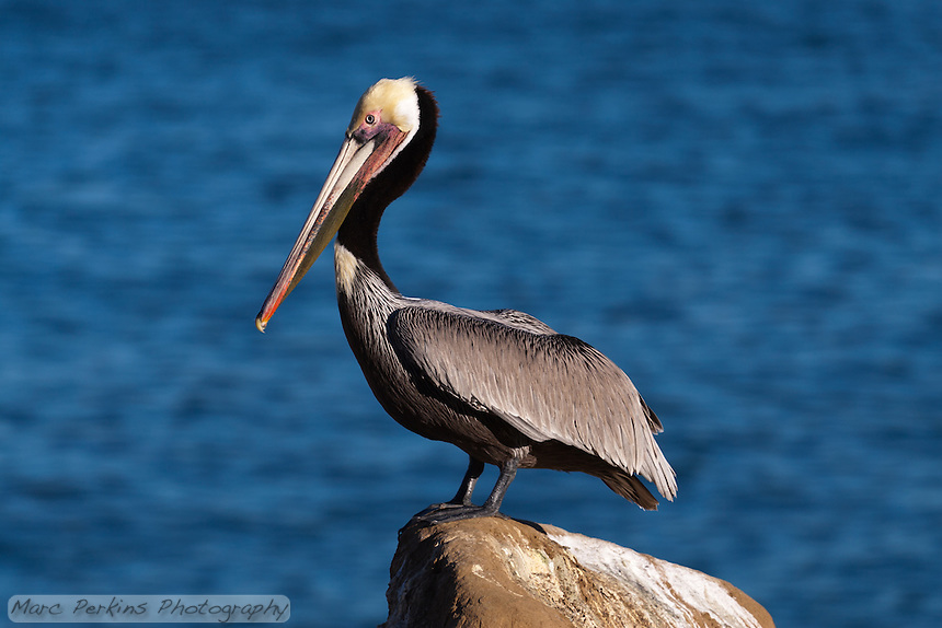 This California brown pelican (Pelecanus occidentalis californicus) is standing proudly on a rock in front of a blurred-out calm blue ocean background.  The pelican is seen in profile, with its beak, bill pouch, and legs clearly visible.