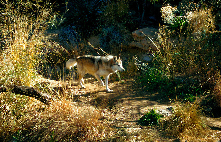 A Mexican Wolf (Canis lupus). Arizona-Sonora Desert Museum, Arizona.