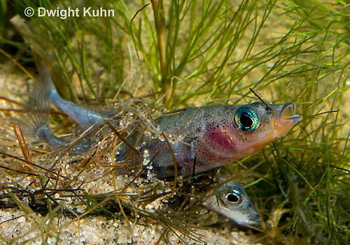 1S54-505z  Male Threespine Stickleback pushing through nest fertilizing eggs left my female, Gasterosteus aculeatus,  Hotel Lake British Columbia
