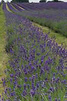 Rows of purple lavender dance in the gentle breeze