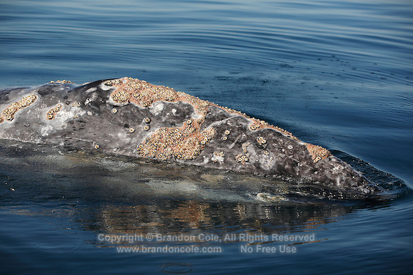 pr5018-D. Gray Whale (Eschrichtius robustus). Head is covered with barnacles (Cryptolepas rhachianecti) and cyamid whale lice. Baja, Mexico..Photo Copyright © Brandon Cole. All rights reserved worldwide.  www.brandoncole.com..This photo is NOT free. It is NOT in the public domain. This photo is a Copyrighted Work, registered with the US Copyright Office. .Rights to reproduction of photograph granted only upon payment in full of agreed upon licensing fee. Any use of this photo prior to such payment is an infringement of copyright and punishable by fines up to  $150,000 USD...Brandon Cole.MARINE PHOTOGRAPHY.http://www.brandoncole.com.email: brandoncole@msn.com.4917 N. Boeing Rd..Spokane Valley, WA  99206  USA.tel: 509-535-3489
