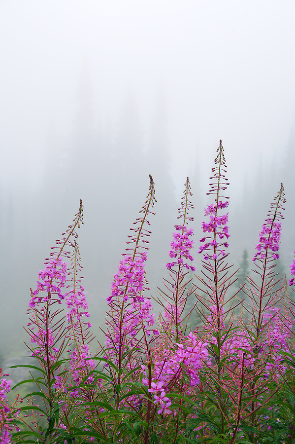 Fireweed flowers in fog, Mount Rainier National Park, Washington, USA