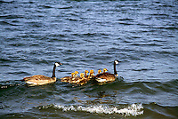 Canada Geese (Branta canadensis) - Canada Goose Parent Birds swimming with Gaggle of Young Goslings