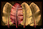 Large tropical leaves on dark background