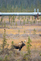 Bull moose on the tundra by the Trans Alaska Oil Pipeline, Arctric, Alaska.