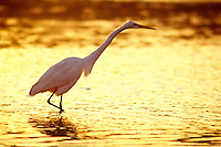The last rays of sunlight illuminate a Great Egret (Ardea alba) as it hunts for an evening meal.