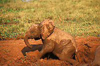 Young African elephant calf (Loxodonta africana) mud bathing. Matusadona National Park, Zimbabwe.
