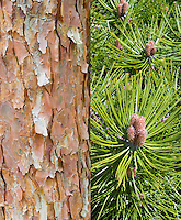 Pinus densiflora conifer evergreen showing bark and new growth, composite picture